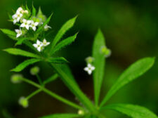 Close up picture of Cleavers flower