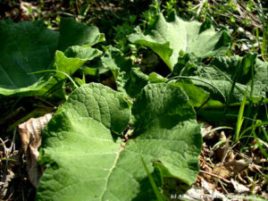 Burdock leaves rosette on ground, first year growth