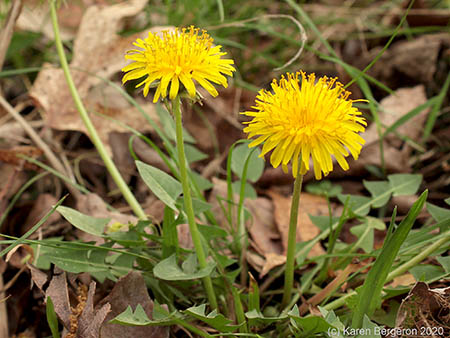 Two Dandelion flowers growing in rosette of sharply toothed leaves