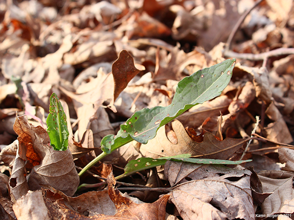 Young curly dock leaves growing in dead leaves